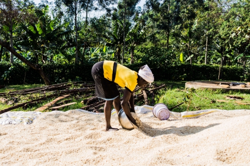 Women cleaning rice, Kenya 2017